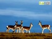 导致中华对角羚稀少的原因?