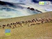 中华对角羚是藏羚羊吗?